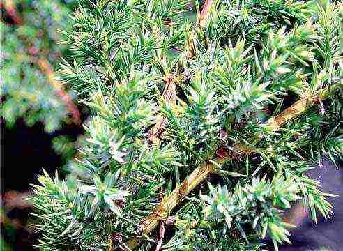 Как вырастить можжевельник из семян? 20 фото особенности его размножения и выращивания в домашних условиях