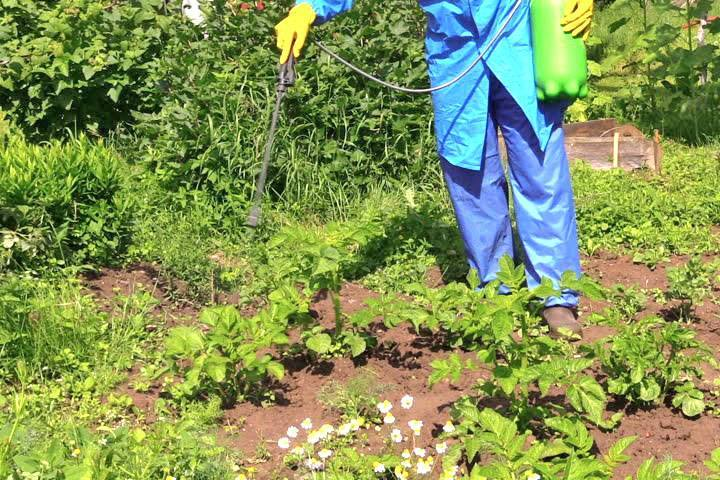 Как разводить Корадо от колорадского жука