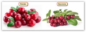 Похожая на клюкву ягода. чем отличается клюква от брусники?