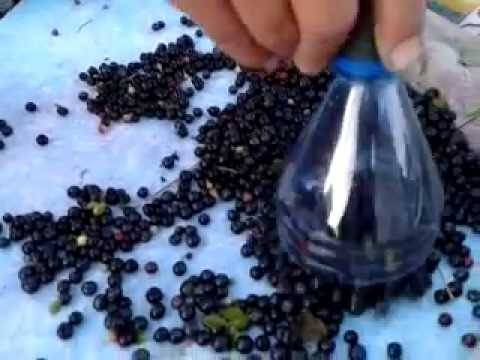 Как быстро перебрать чернику от листьев