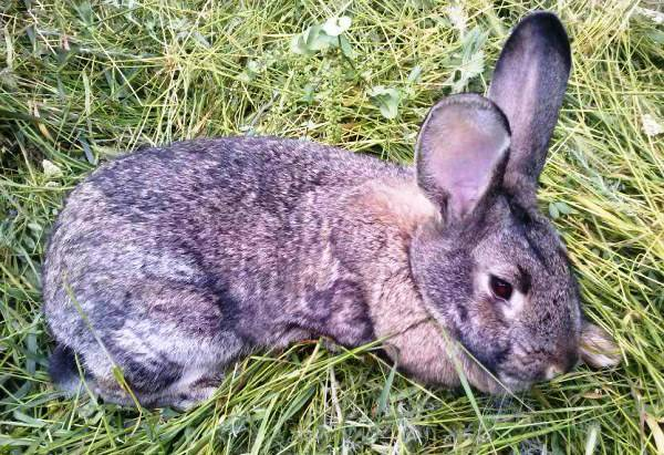 Миксоматоз у кроликов: симптомы, лечение в домашних условиях, фото