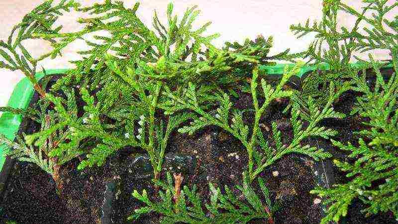 Западная туя рейнголд — хвойник декоративного вида