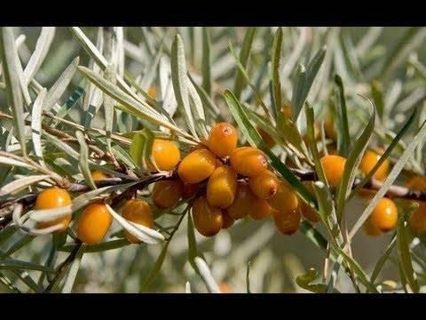 Лечебные свойства листьев облепихи, польза и противопоказания