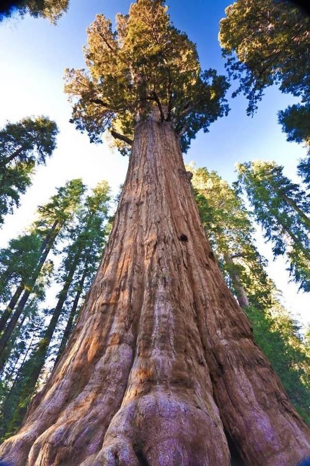 Сосна мафусаил — одно из старейших деревьев на земле