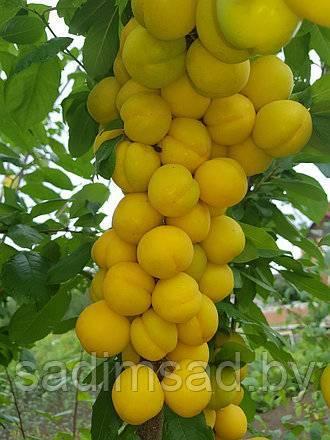 Гибрид сливы и абрикоса — разъясняем развернуто