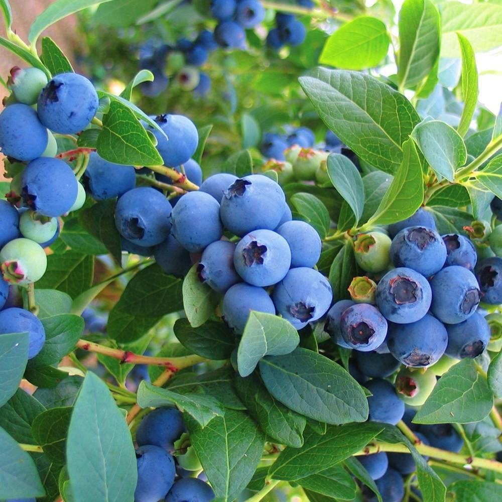 Голубика чандлер: польза и вред, посадка и уход, вредители