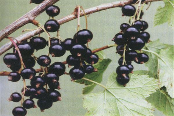 Смородина чёрная литвиновская — основные характеристики