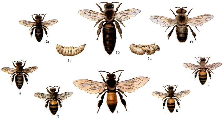 Медоносная пчела: краткая характеристика некоторых пород