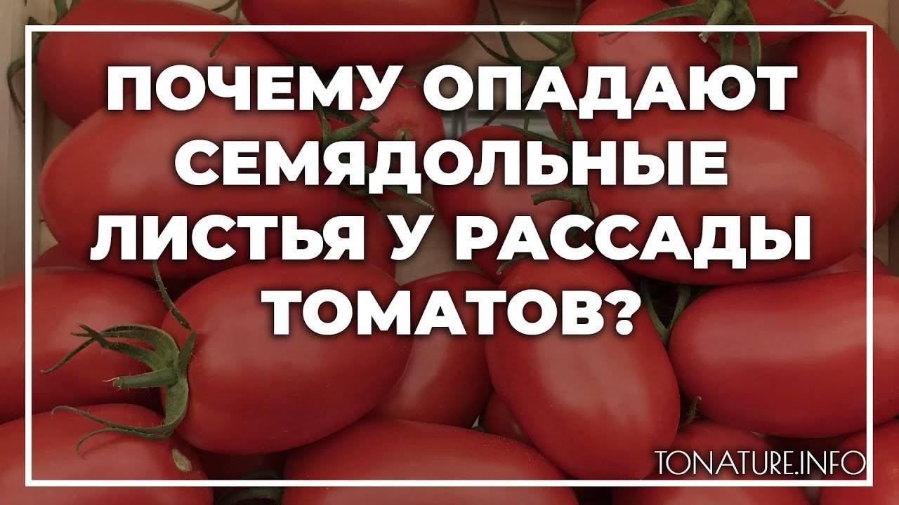 Почему у рассады помидоров опадают зеленые листья. что делать, если у рассады помидоров желтеют листья? болезни как причина опадания листьев
