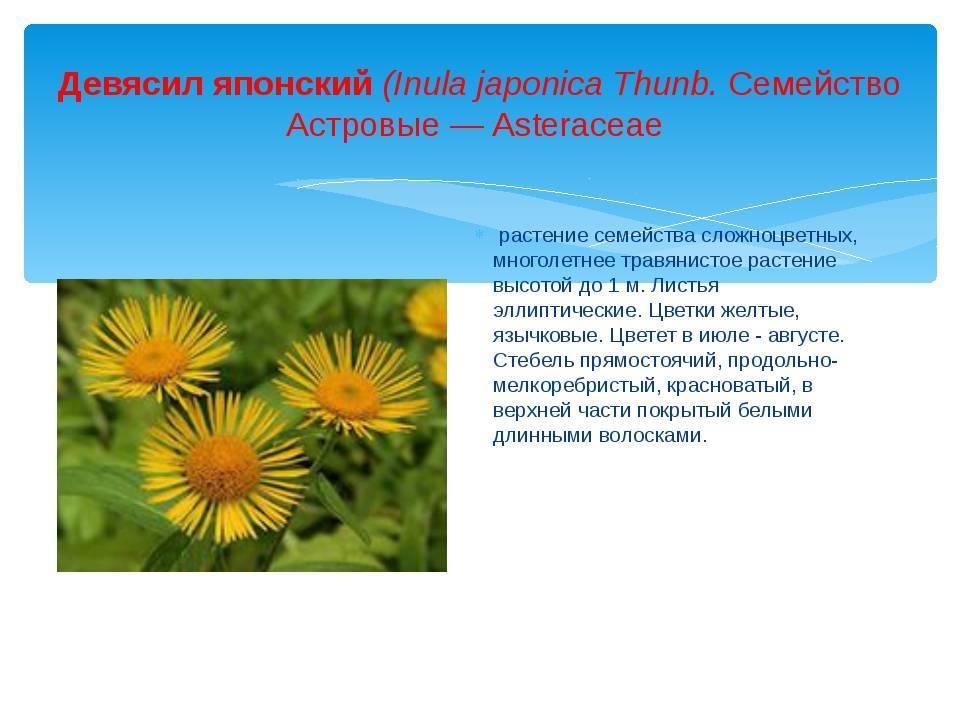 Девясил - травянистые растения для открытого грунта - greeninfo.ru