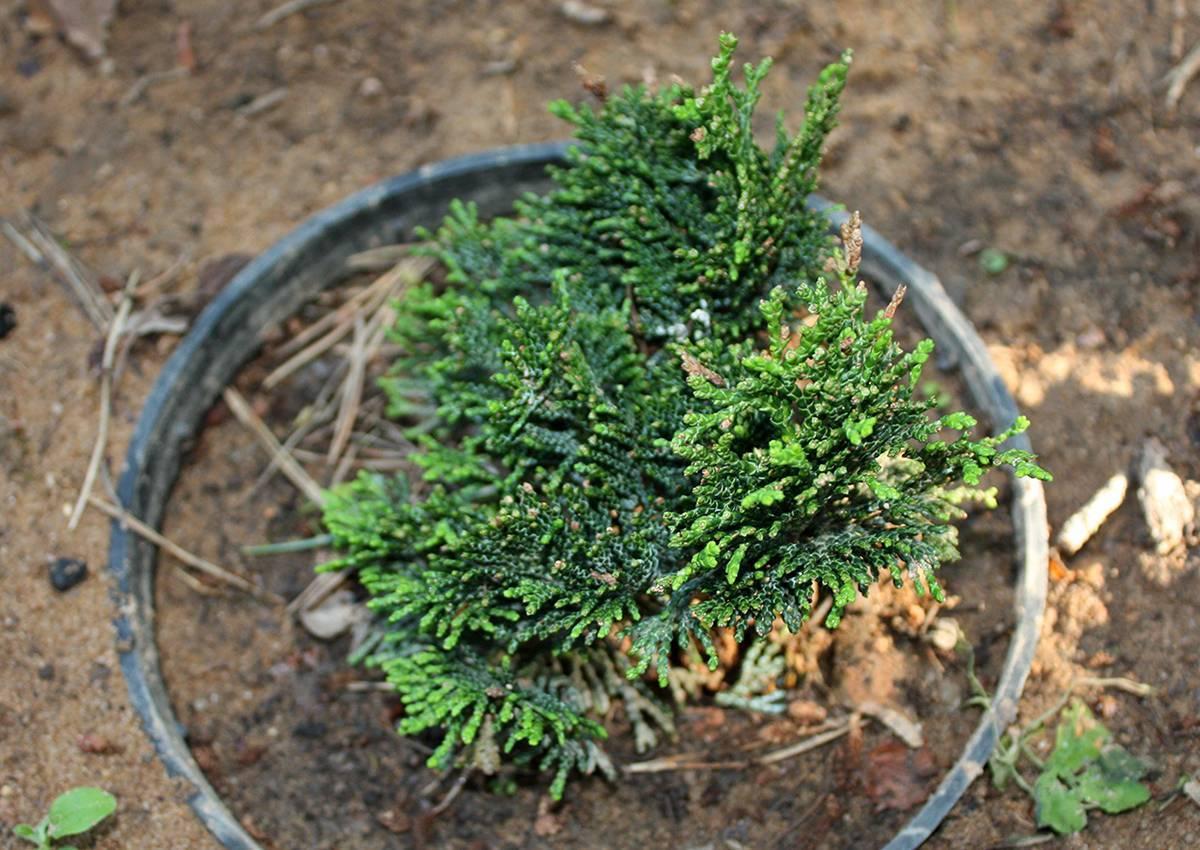 Кипарисовик туполистный: 8 популярных сортов и 5 главных советов по уходу