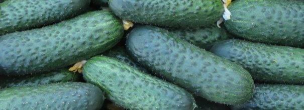 Огурец эколь f1: особенности выращивания популярного гибрида