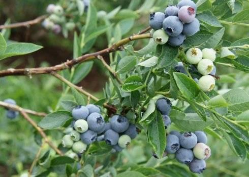 Голубика «нортланд»: описание и выращивание сорта