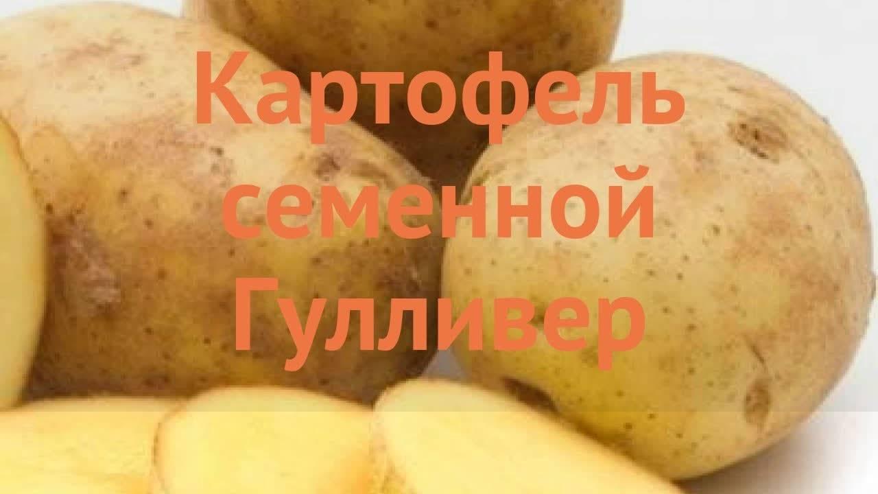 Сорт картофеля «гулливер» – описание и фото