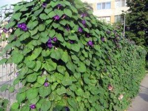 Вьющиеся растения для сада. вьющиеся цветы