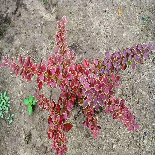 Особенности выращивания и уход за барбарисом голден ринг