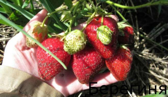 Клубника боровицкая: отзывы садоводов, фото, характеристика позднего сорта ягоды
