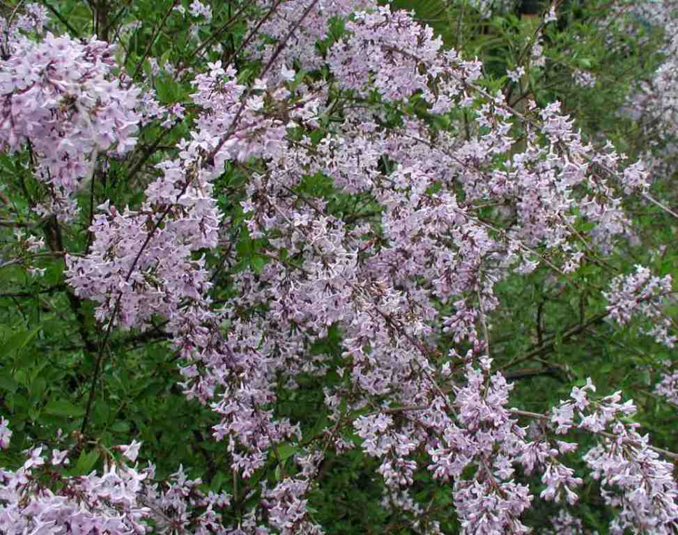 Lilas persan novaya zarya новая заря аромат — аромат для женщин