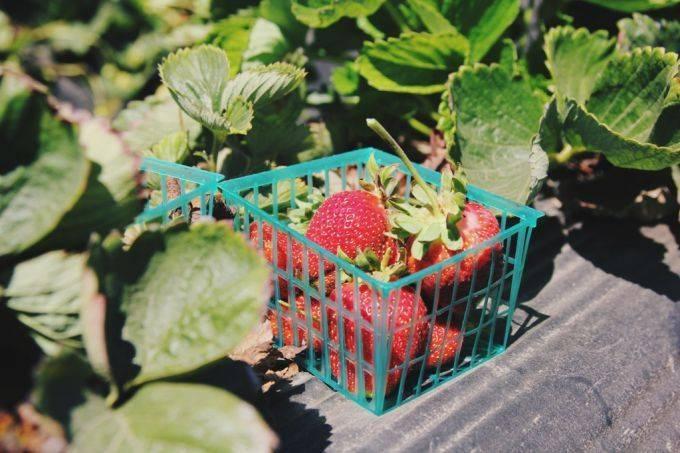 Подкормка клубники весной для большого урожая народными средствами