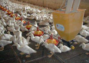 Бройлерные утки — быстрое мясо без особых хлопот