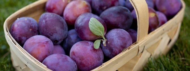 Слива богатырская: описание сорта, посадка и уход за растением