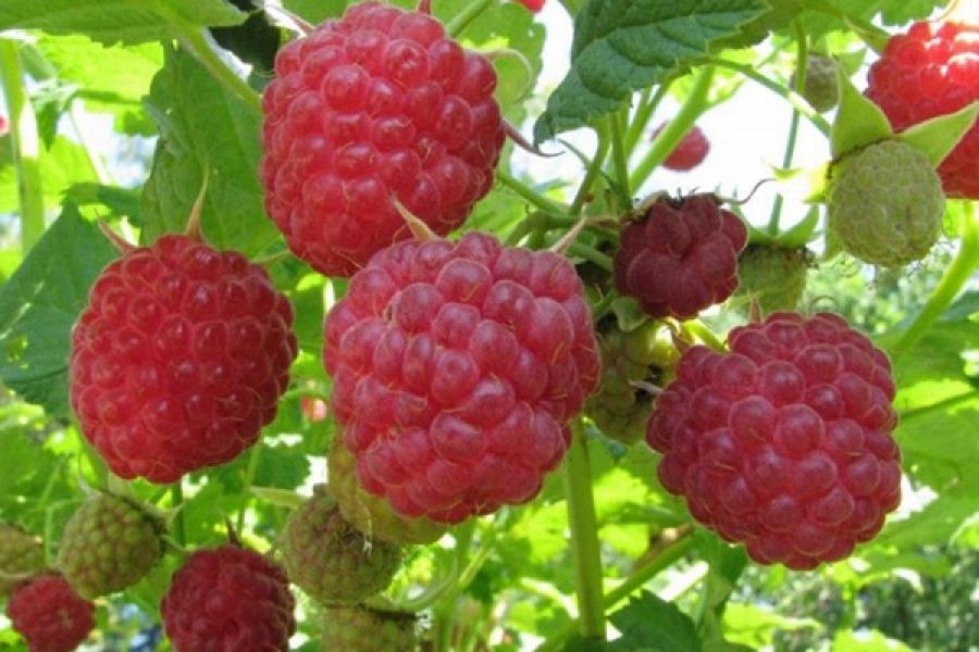 Малина геракл: описание сорта, характеристика, размножение, посадка и уход