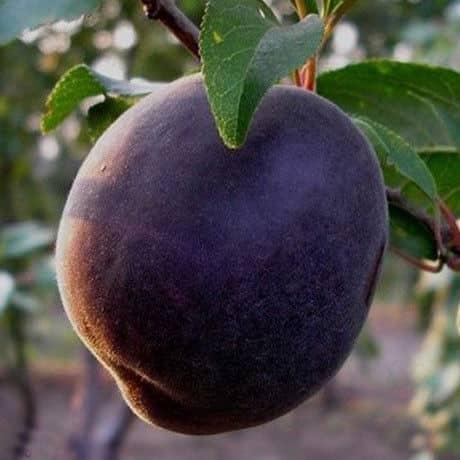 Описание и характеристика лучших сортов чёрного абрикоса