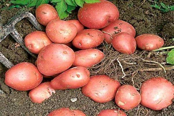Картофель манифест: описание сорта, фото, отзывы