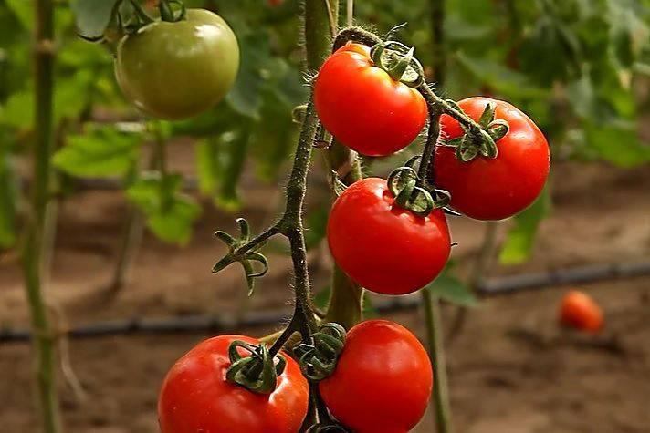 Угощение с грядки для настоящих гурманов: томат «царское искушение»