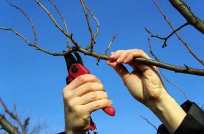 Почему у сливы в плодах черви и чем ее можно обработать