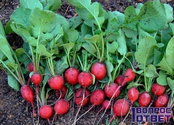Почему редис горчит, не завязывается, не растет, или проблемы при выращивании редиса: рассматриваем тщательно