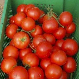 Томат леопольд f1: отзывы, фото, урожайность