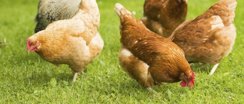 Кормовые дрожжи для птицы: полезные свойства продукта, сколько и как давать?