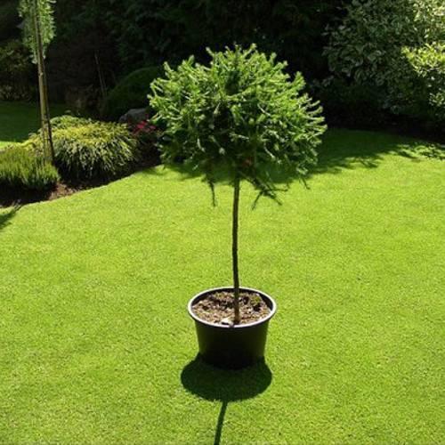 Стрижка и формирование лиственницы в саду