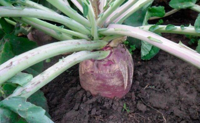 Растение брюква: посадка и уход в открытом грунте, фото, выращивание из семян, уборка, хранение