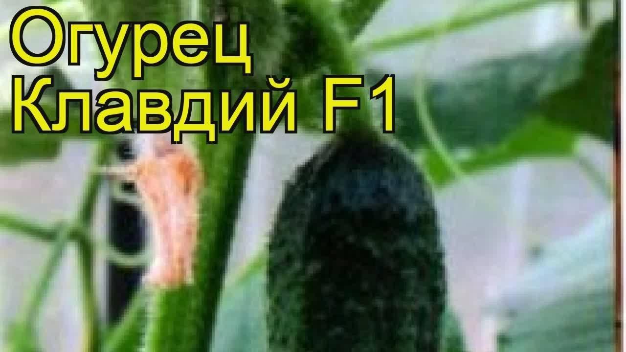 Огурцы клавдия f1: характеристика сорта и особенности ухода