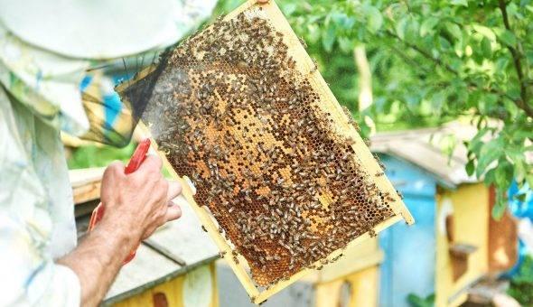 О лозевале: инструкция по применению для пчел, мешотчатый расплод, лечение