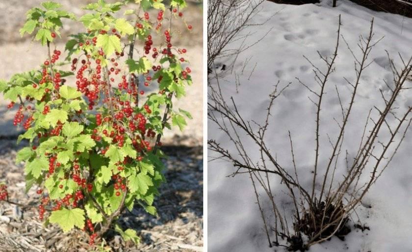 Смородина чёрная татьянин день — основные характеристики сорта