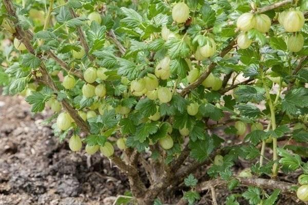 Обрезка крыжовника осенью — залог высокого урожая в следующем сезоне