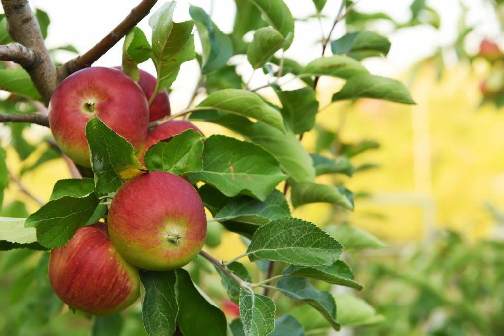 Полукультурная яблоня воспитанница