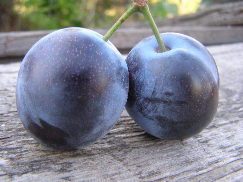 Выращивание сливы блюфри
