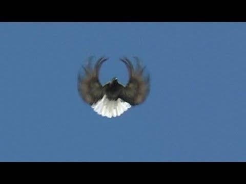 Серпастые голуби - общая информация - 2020