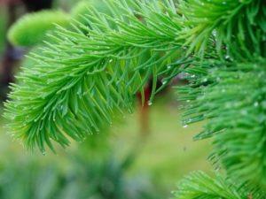 Иголки сосны: полезные свойства, противопоказания, польза и вред