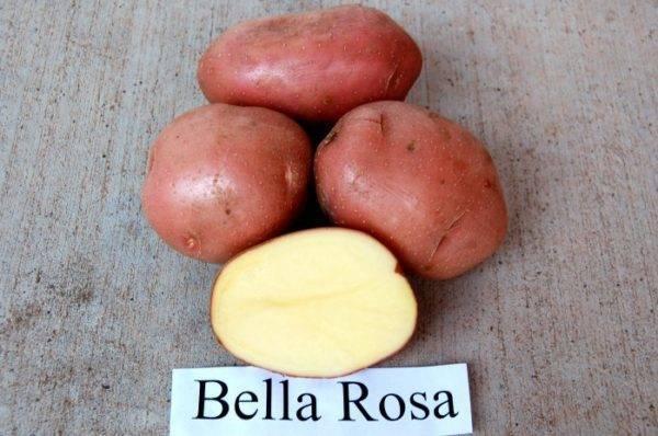 Сорт картофеля «беллароза»