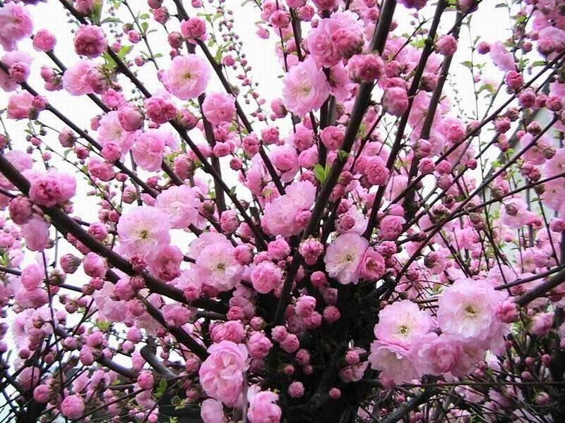 Миндаль: как посадить, ухаживать, размножать и лучшие сорта