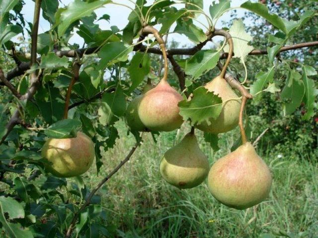 Груша отрадненская:  описание сорта, фото плодов, характеристики и особенности выращивания