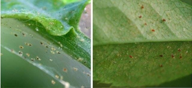 Почему на бальзамине могут желтеть и опадать листья и что с этим делать