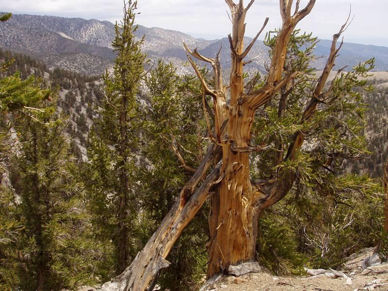 Мафусаил (дерево) — википедия