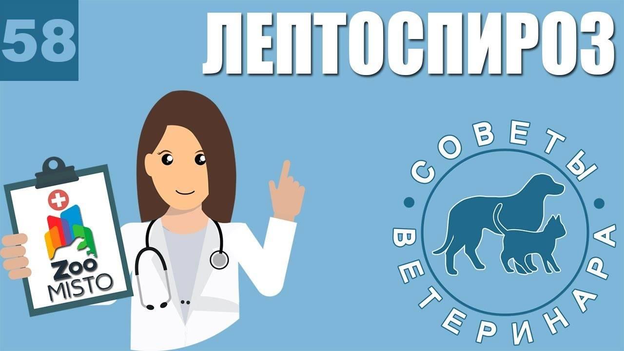 Симптомы и лечение лептоспироза у крупного рогатого скота (пошаговая инструкция)