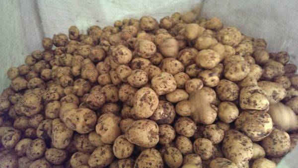 Картофель «гала»: описание сорта, фото и отзывы